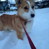 コーギー 雪遊び 散歩