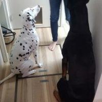 世田谷区のドーベルマンとダルメシアンがおすわりして待てをしている
