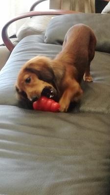 世田谷区のダックスぽんずくんがコングで遊んでいる 犬のしつけ