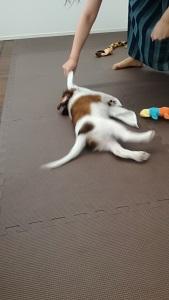 世田谷区のコイケル 引張りっこ遊び