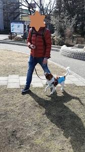 世田谷区のコイケル、お散歩練習