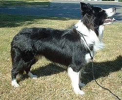 ボーダーコリー 牧羊犬 ハーディング