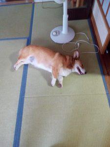 コーギー犬 短足 畳