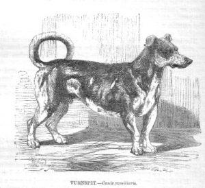 ターンスピット犬 イギリス 短足