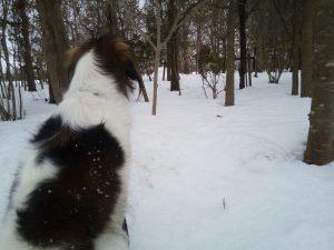 コイケルホンディエ 雪の散歩