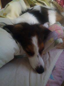 コイケルホンディエ 寝てる犬