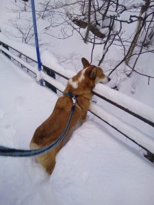 蔵王 雪 ウエルッシュコーギーペンブローク