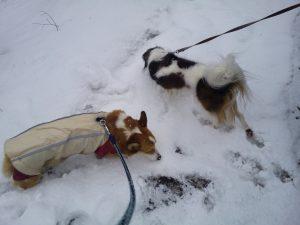 ウエルッシュコーギーペンブローク コーイケルホンディエ 雪の犬の散歩