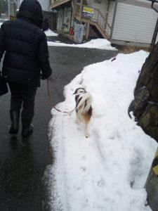 雪の犬の散歩 コーイケルホンディエ