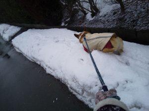 雪の犬の散歩 ウエルッシュコーギーペンブローク