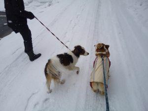 雪の犬のお散歩 ウエルッシュコーギーペンブローク コイケルホンド