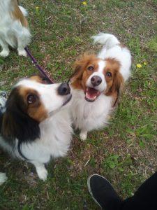コイケルホンディエ 犬の散歩 同胎犬