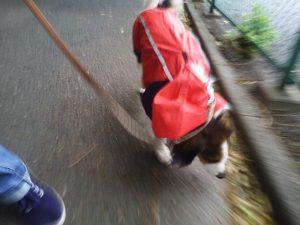雨上がり 犬の散歩 犬のレインコート コイケルホンディエ