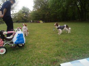 都立野川公園 コイケルホンディエ 犬の散歩 おすわり