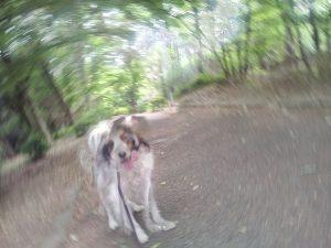 コイケルホンディエ 犬の散歩