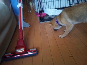 柴犬 子犬 犬のしつけ練習