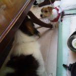 井の頭公園内のドッグカフェ カフェ・ドゥ・リエーブル コイケルホンディエ ジャックラッセルテリア 子犬