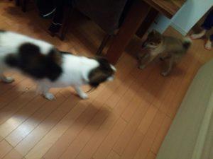 柴犬 子犬 コイケルホンディエ