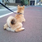 柴犬 子犬