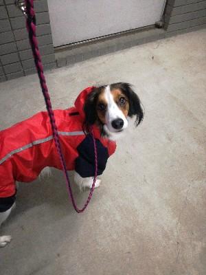 コイケルホンディエ パラコード 犬のリード