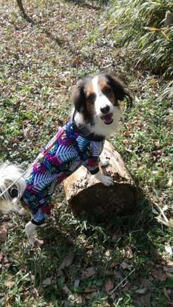 コイケルホンディエ  つるロン 犬の散歩