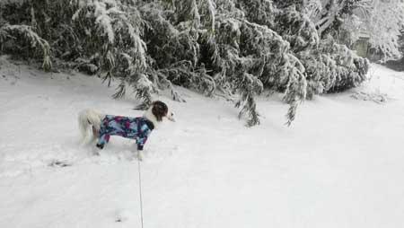 コイケルホンディエ 雪遊びをする犬 つるロン