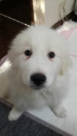 グレートピレニーズ子犬 おすわり