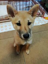調布市の柴犬ラッキーちゃん生後3ヶ月