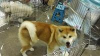 秋田犬 FCIインターナショナルドッグショー インターペット2018