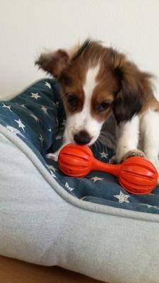 世田谷区のコイケル 犬の知育玩具