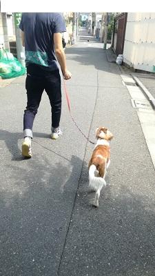 世田谷区のコイケル お散歩練習