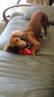 世田谷区のダックスぽんずくんが知育玩具で遊んでいる 犬のしつけ