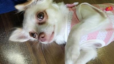 三鷹市のチワワのうめちゃんの犬のしつけ