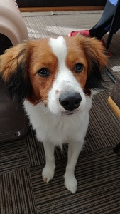 世田谷区のコイケル、犬の教育