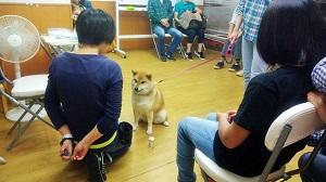 世田谷区ノーズワークセミナー 北欧 柴犬
