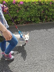 狛江市で出張ドッグトレーニング 柴犬